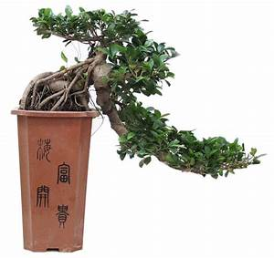 Ficus Ginseng Kaufen : cascade bonsai ficus florastore ~ Sanjose-hotels-ca.com Haus und Dekorationen