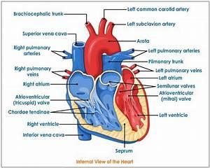 Human Heart | Tutorvista.com