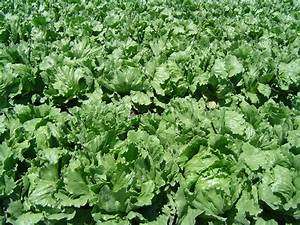 File:Iceberg lettuce in SB.jpg - Wikipedia
