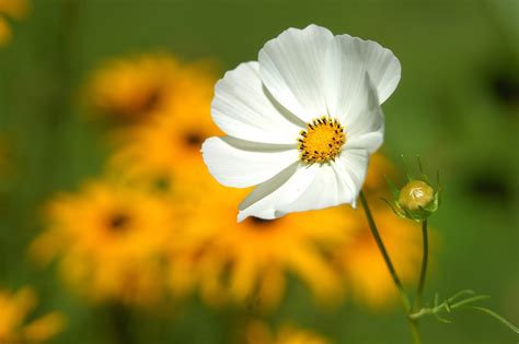 white and yellow flower 183 free