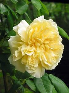 Langage Des Fleurs Pivoine : c line forestier est un petit grimpant 2 3 m aux fleurs remplies de charme tr s doubles des ~ Melissatoandfro.com Idées de Décoration