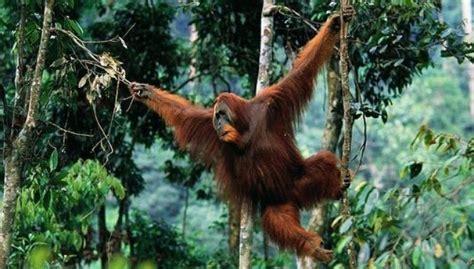 critically endangered sumatran orangutan