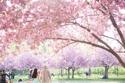 botanical garden cherry blossom botanic garden engagement photos cherry