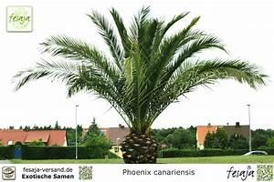 Kanarische Dattelpalme Kaufen : kanarische dattelpalme phoenix canariensis samen ~ Lizthompson.info Haus und Dekorationen