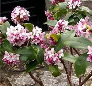 Arbuste Persistant En Pot : daphne odora 1 5 x 1 5 m floraison mars petit arbuste ~ Premium-room.com Idées de Décoration