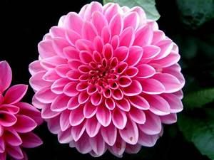 Dahlia 'Sandra' Dahlia Flowers' catalog Export Unie Flora