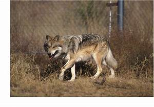 Current Evidence Supports Classification of Red Wolf as a ...