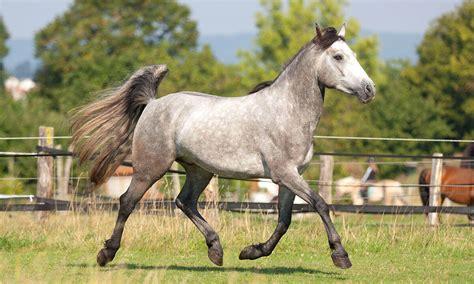 pony connemara horse horses breeds