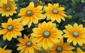 Rudbeckia Hirta Prairie Sun Yellow Orange Flowers With 14