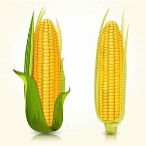 成熟的玉米模板下载(图片编号:20131217074848)-蔬菜水果-生物世界-矢量素材 - 聚图网 juimg.com