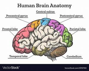 Parts Of The Brain Diagram Quiz  U2013 Brain Diagram Labeling Wiring Diagram Services   43 Related