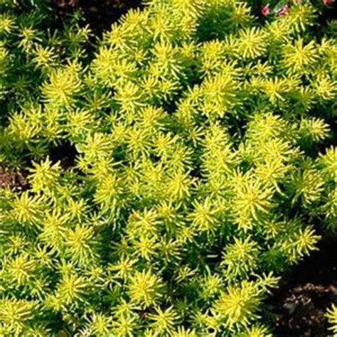 onlineplantcenter  gal angelina stonecrop sedum plant
