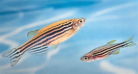 pigment pas de deux puts stripes  zebrafish science news