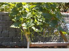 This is a trellis to train your cukes and your squash to