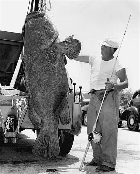 goliath grouper jewfish pound stands being truck fish caught florida hoisted marathon 1955 near line nachrichtenfoto embed