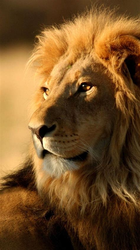 lion wallpaper hd animals lion iphone