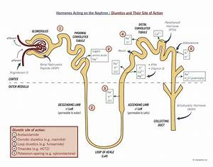 Label The Diagram Of The Kidney And Nephron Below  U2014 Untpikapps