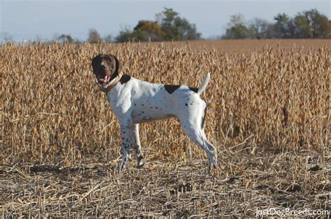 German Shorthaired Pointer Shedding by Calm Shorthaired Breed Breeds Picture