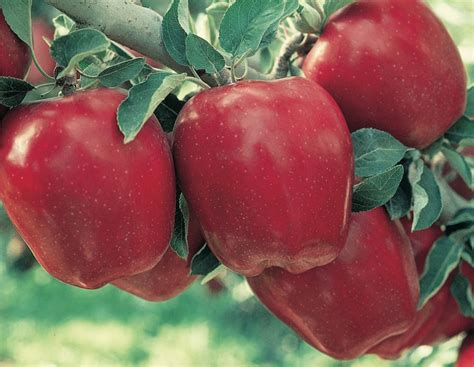 A Delicious Discovery: Red Delicious Apple - Stark Bro's