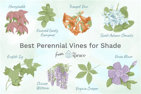 perennial vines  shady areas