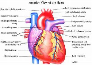 1  Heart Anatomy From The Anterior View  Left  And
