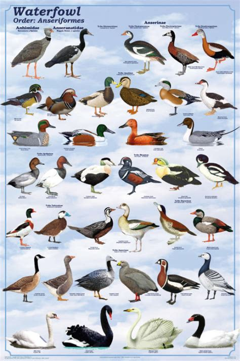 duck types feenixx publishing educational and hobby posters