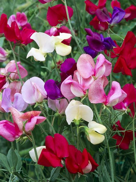picture of sweet pea grow scented sweet peas hgtv