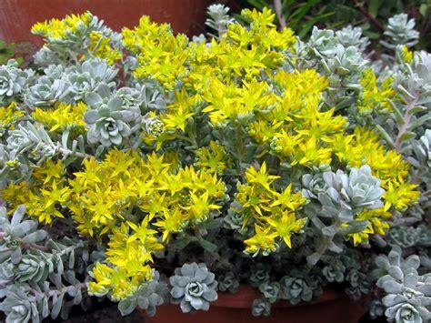 drystonegarden blog archive sedum spathulifolium