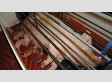 Is Farrowing Crate Design a Constraint to Weaning Average