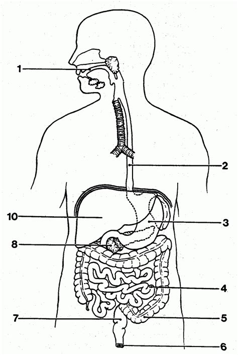 unlabeled digestive system diagram world of diagrams