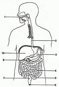 Unlabeled Digestive System Diagram