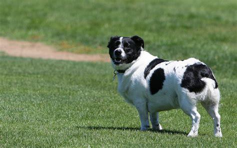 Border Collie A Doggie Bloggie
