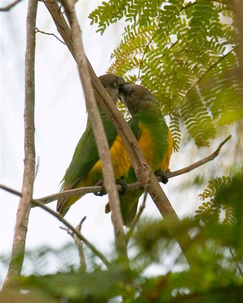 lorito senegales poicephalus senegalus aves exoticas