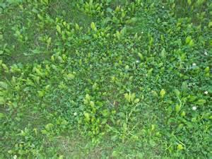 Lawn Grass Weeds Identification