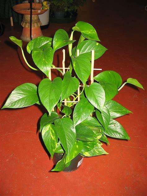 money plant money plant
