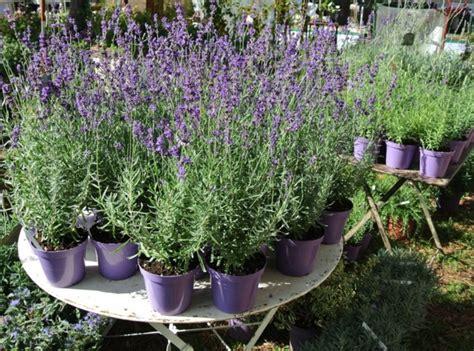lavande en pot entretien lavande lavandula angustifolia