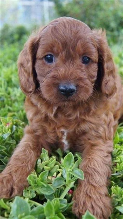 Cavoodle Breed Information Puppy Information Banksia Park Puppies