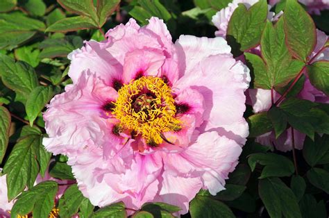 cricket hill peonies planting tree peonies from cricket hill garden the martha stewart blog