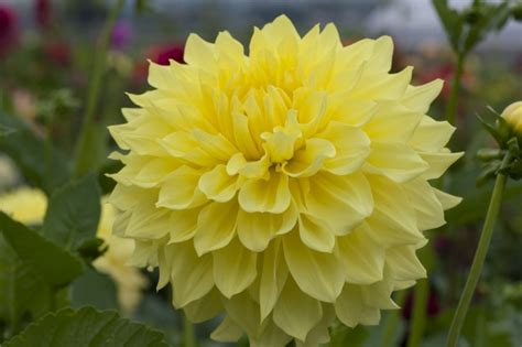 flowers with large blooms hapet 174 bombastic semi cactus dahlia k k large dahlias large flowers k k dahlias