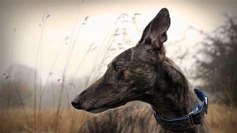 greyhound hd wallpaper background image  id