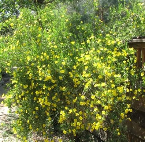 bush yellow flowers in dendromecon rigida bush poppy an evergreen shrub normally 6 feet tall it has yellow flowers 2