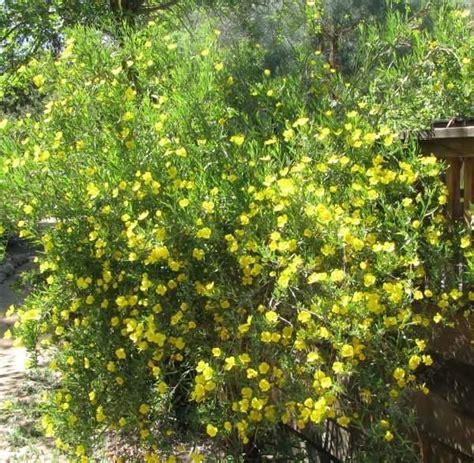 Dendromecon Rigida Bush Poppy An Evergreen Shrub Normally