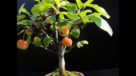 Fruit Trees That Are Good For Bonsai Youtube