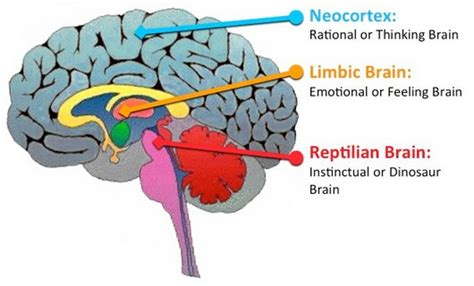 3 Sections Of The Brain by Our Negativity Bias And Remarkable S
