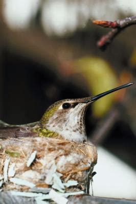 what is hummingbird season in chicago usa today