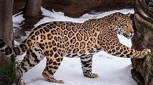 Jaguar | San Diego Zoo Animals & Plants
