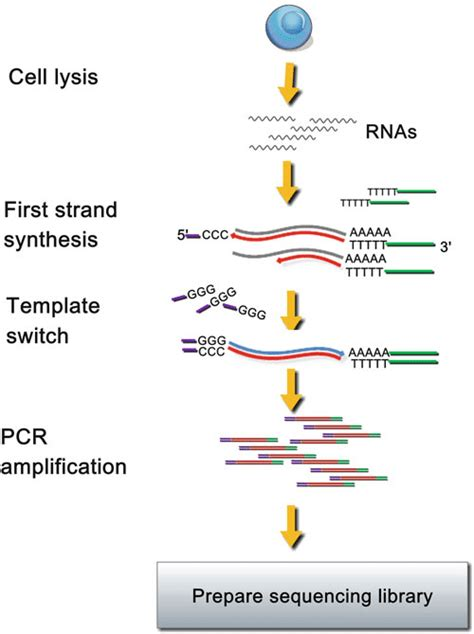 3 Diagram of SMART-Seq method After cell lysis, mRNAs are ...