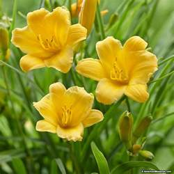 reblooming daylilies reblooming daylily stella d 39 oro hemerocallis american