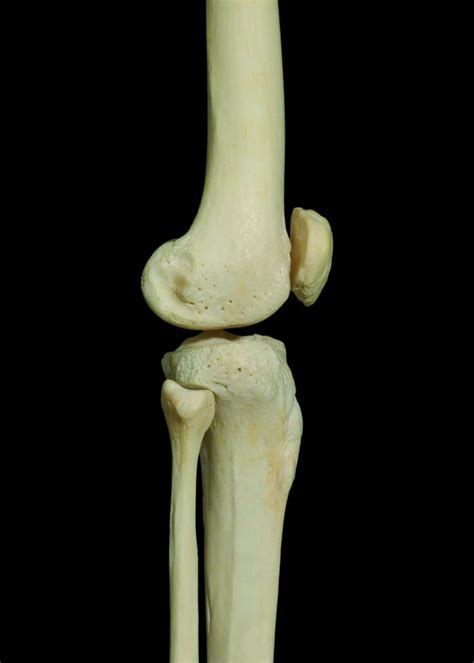 knee joint learn muscles