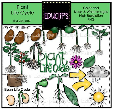 Plant Life Cycle Clip Art Bundle (color And B&w)  Welcome To Educlips Store